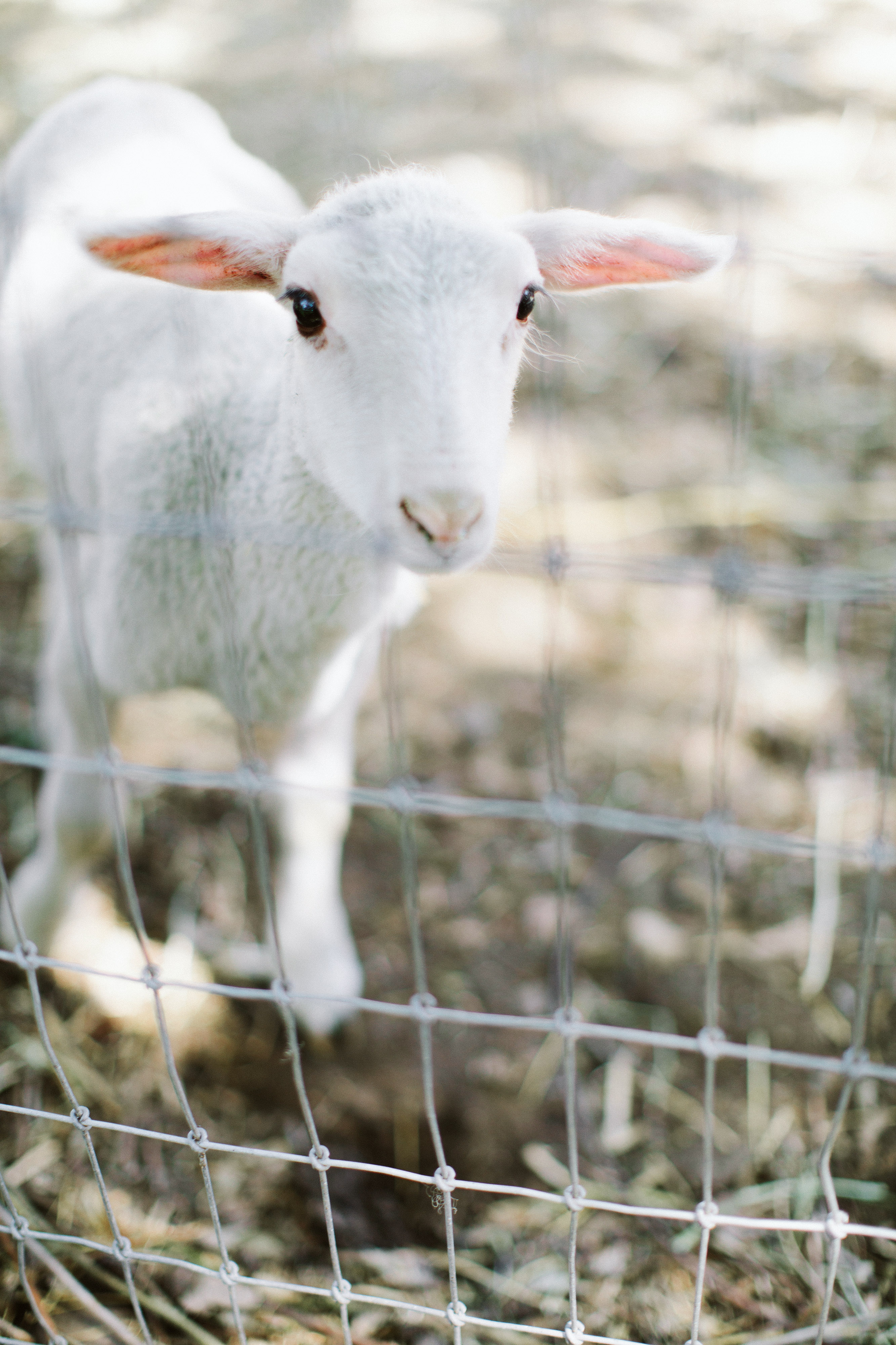eliza peter wedding lamb