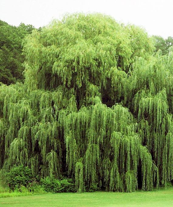 willow anniversary gift tree