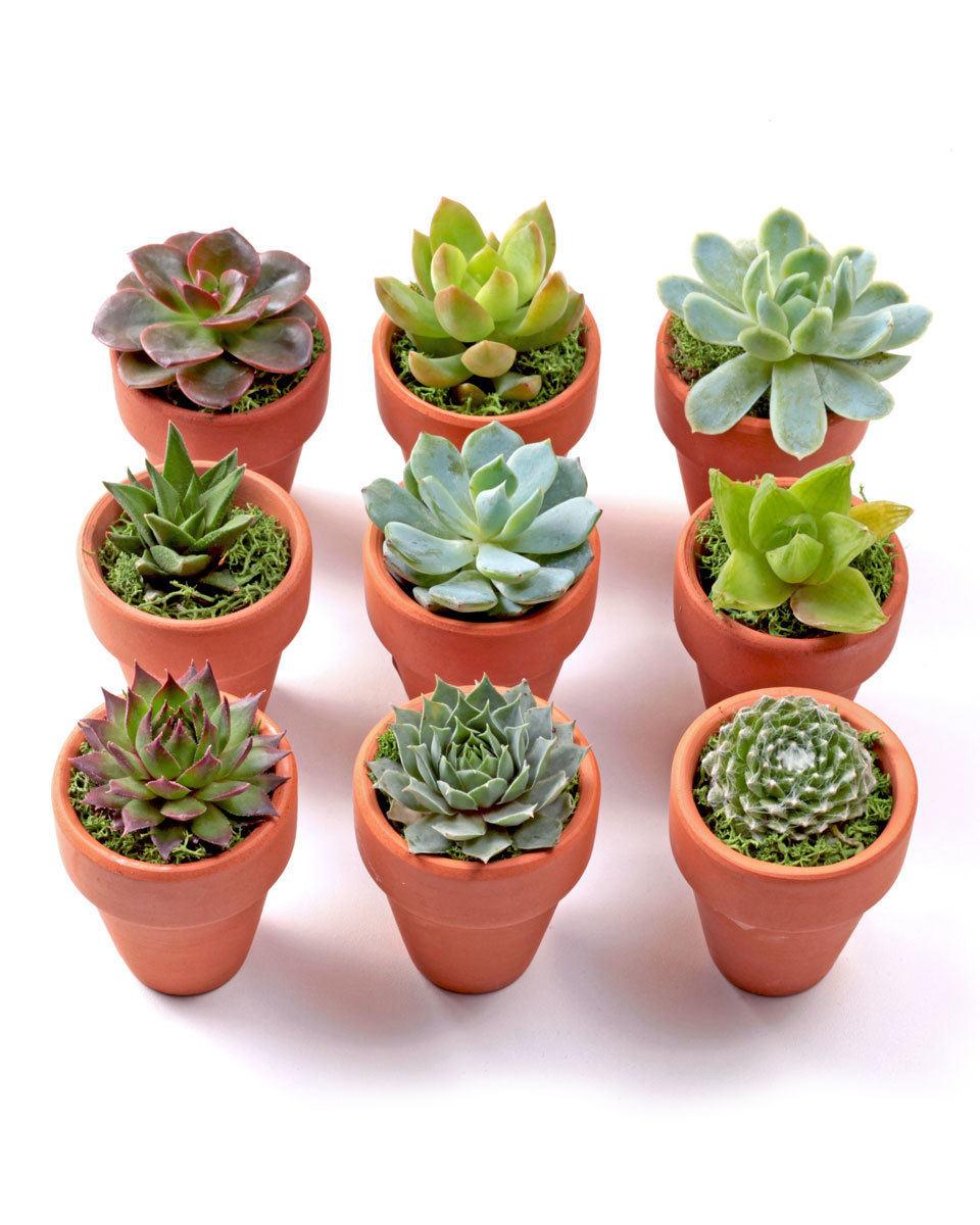 Bloom Pants Succulent Mini Pots and Plant
