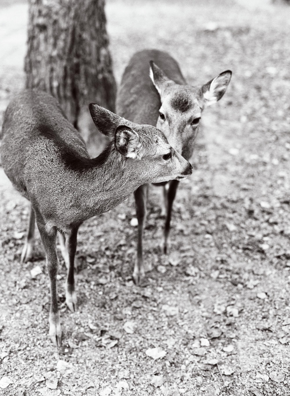 addie richard wedding japan deer in park