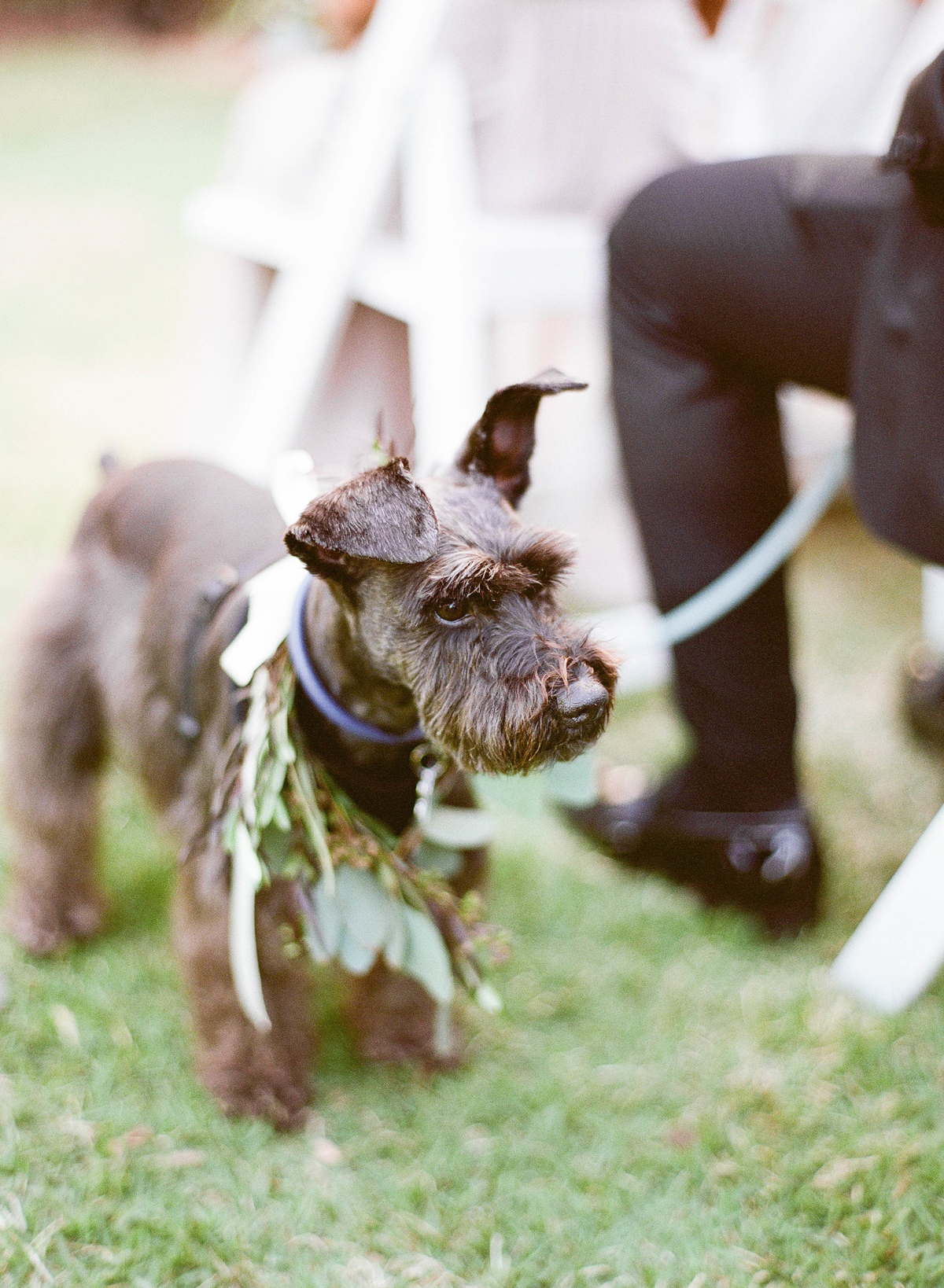 miniature schnauzer Didi the dog ring bearer