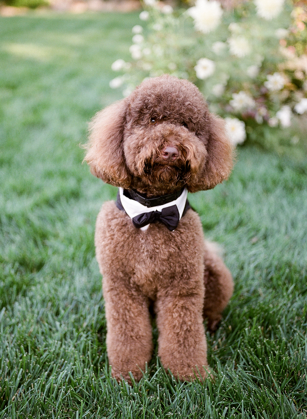 chocolate labrodoodle in bowtie outside on grass
