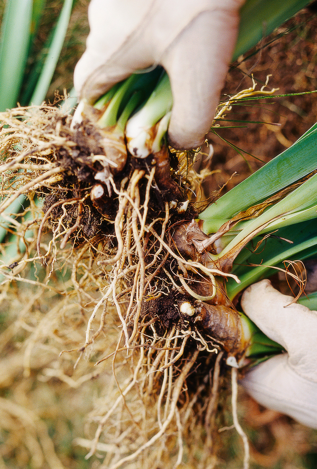 How to Grow, Maintain, and Divide Bearded Iris | Better Homes & Gardens