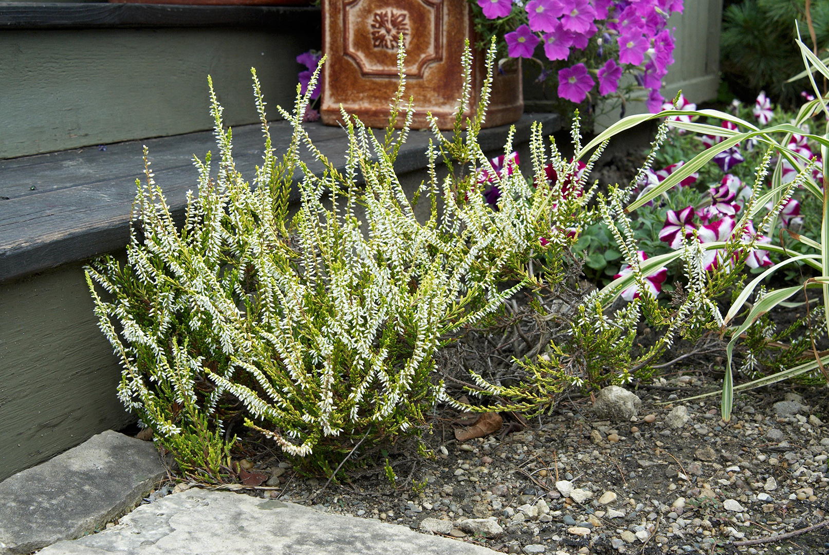 51 Different Types Of Heather Plus Interesting Facts