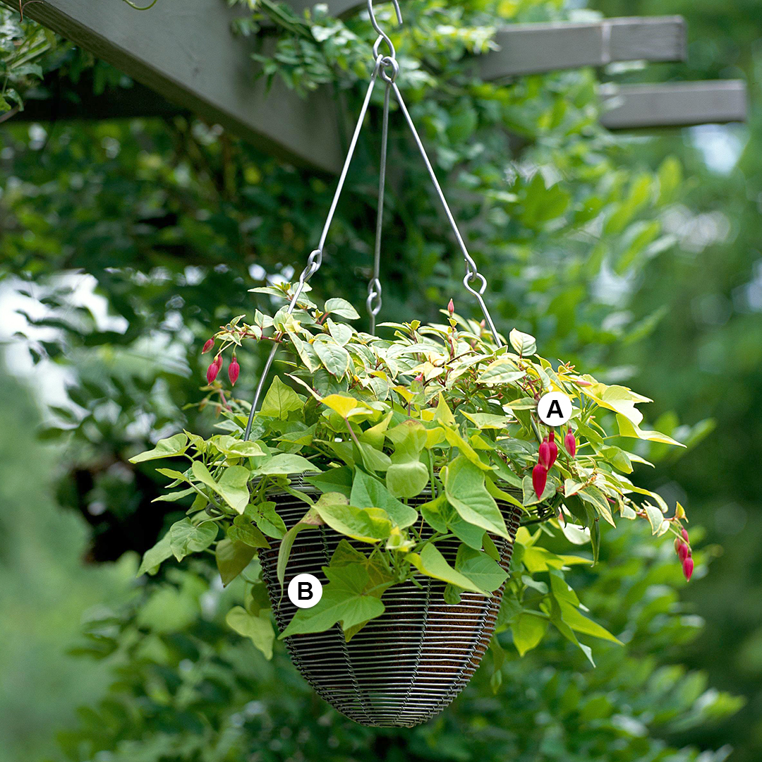 fuchsia and sweet potato vine hanging from arbor