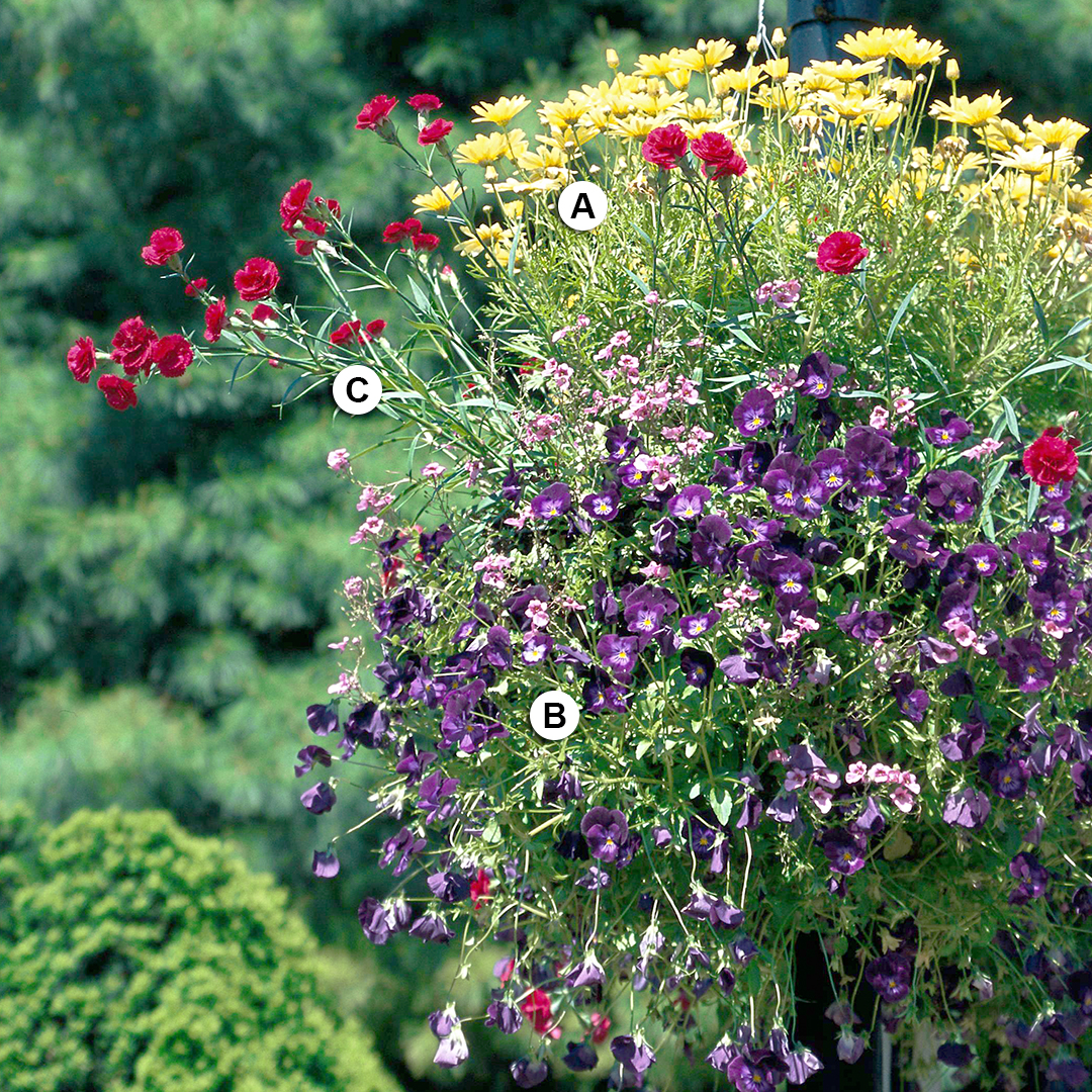 bold hanging basket with dianthus and viola