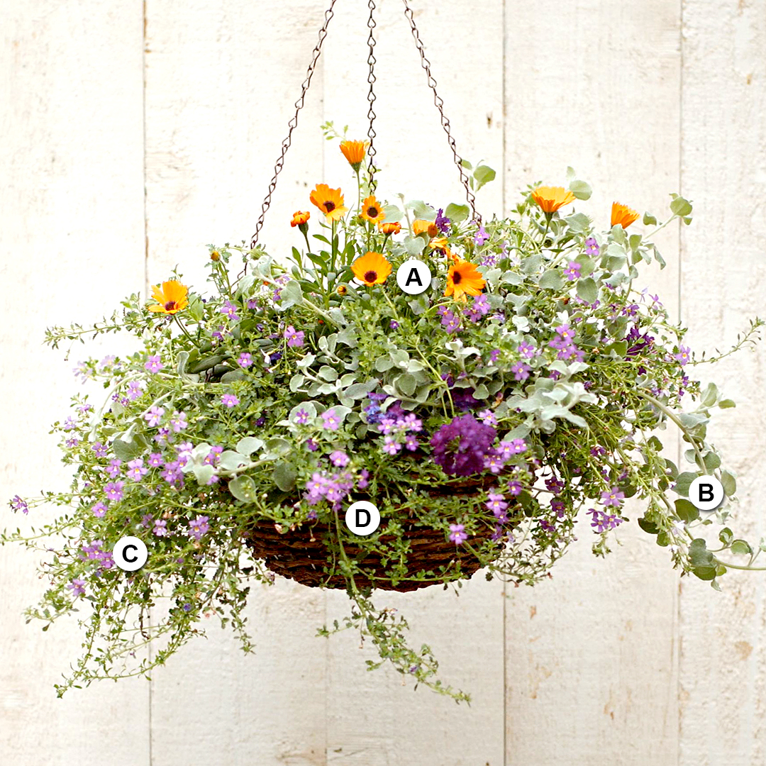 osteospermum licorice vine bacopa and verbena hanging basket