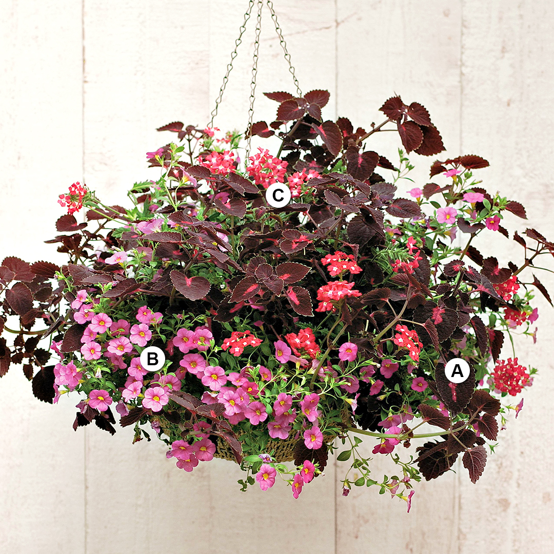 red coleus and verbena hanging basket