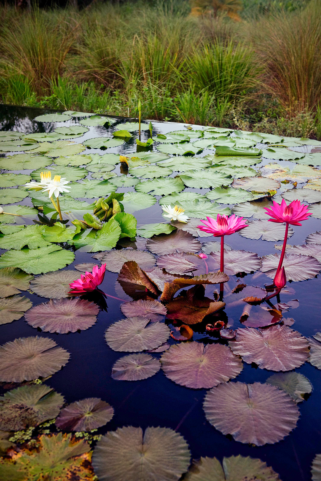 How To Grow Water Lilies Better Homes Amp Gardens