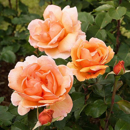 The Most Fragrant Roses for Your Garden