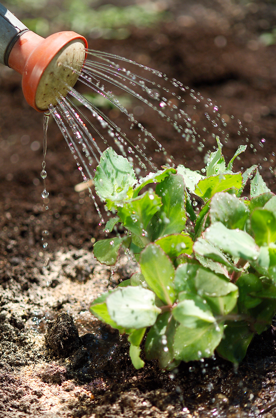 watering green plants in garden