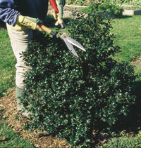 Shape Your Shrubs