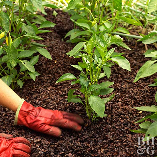 Mulching Vegetable Pepper Plant
