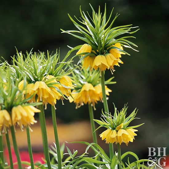 Yellow crown imperial Fritillaria imperialis 'Lutea'