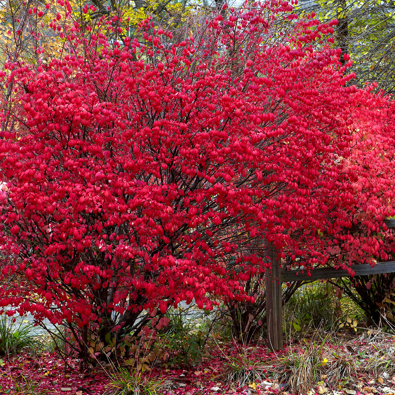 Colorful Shrubs for Your Garden
