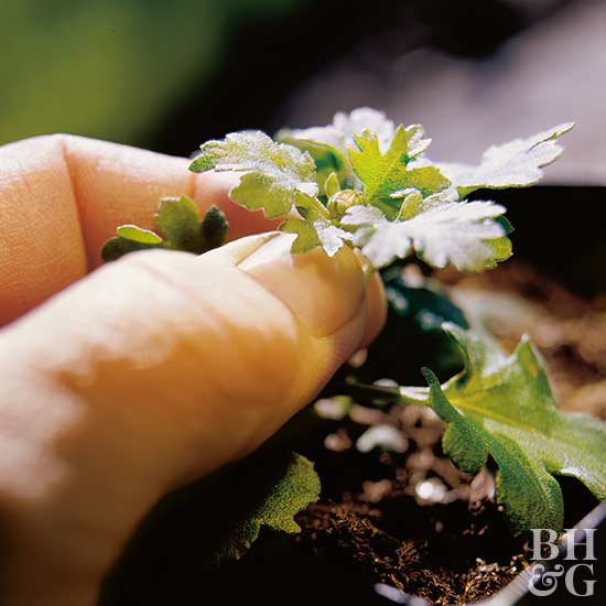 pinching mum buds to promote better growth and tighter blooms