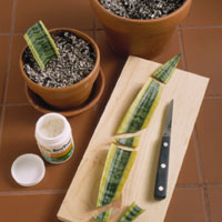 Leaf Cuttings, snake plant