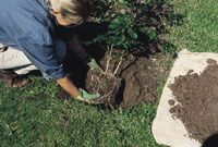Planting container-grown trees and shrubs, step 5