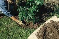 Planting container-grown trees and shrubs, step 7