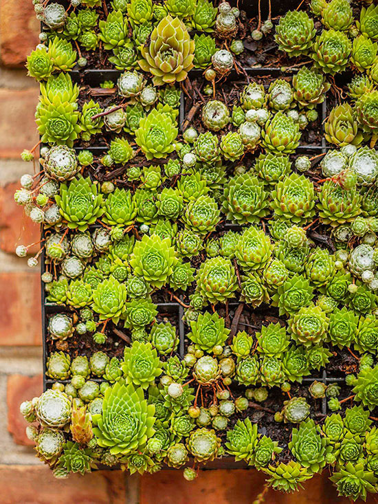 hens and chicks in flat