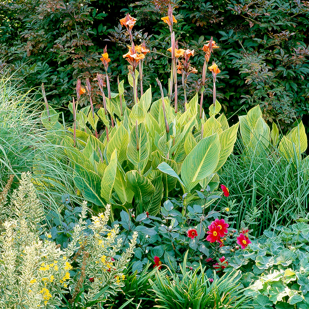 Canna plant in garden landscaping
