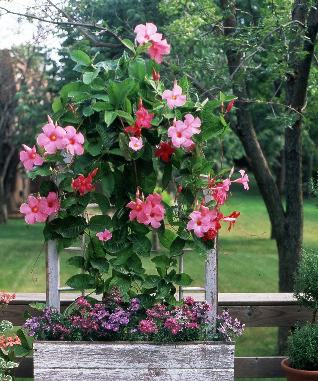 pink Mandevilla flowers in wooden container & The 15 Best Heat-Tolerant Plants for Decks and Patios
