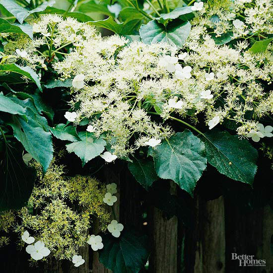 climbing hydrangea growing on fence