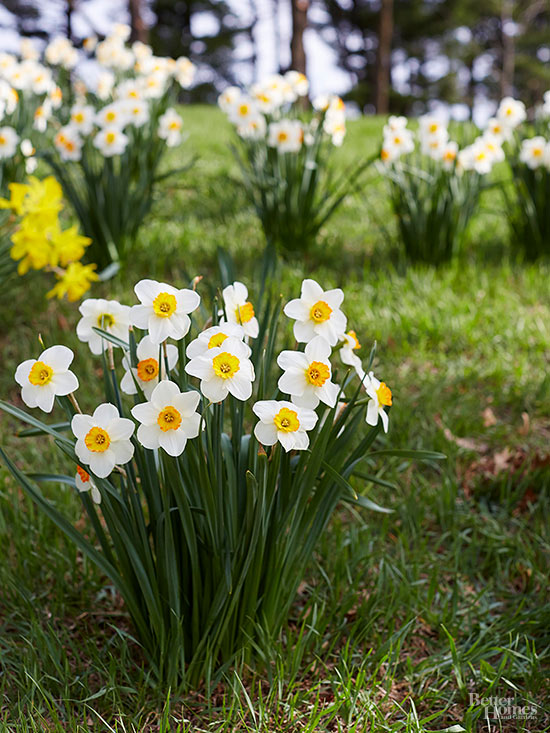 Can I Start New Plants from the Pods on My Daffodils?