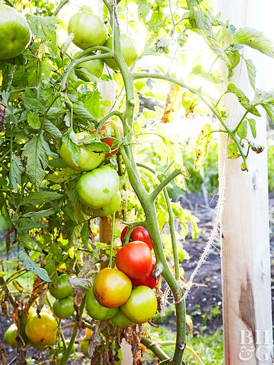 Get Your Tomatoes to Blossom Without Getting Too Tall
