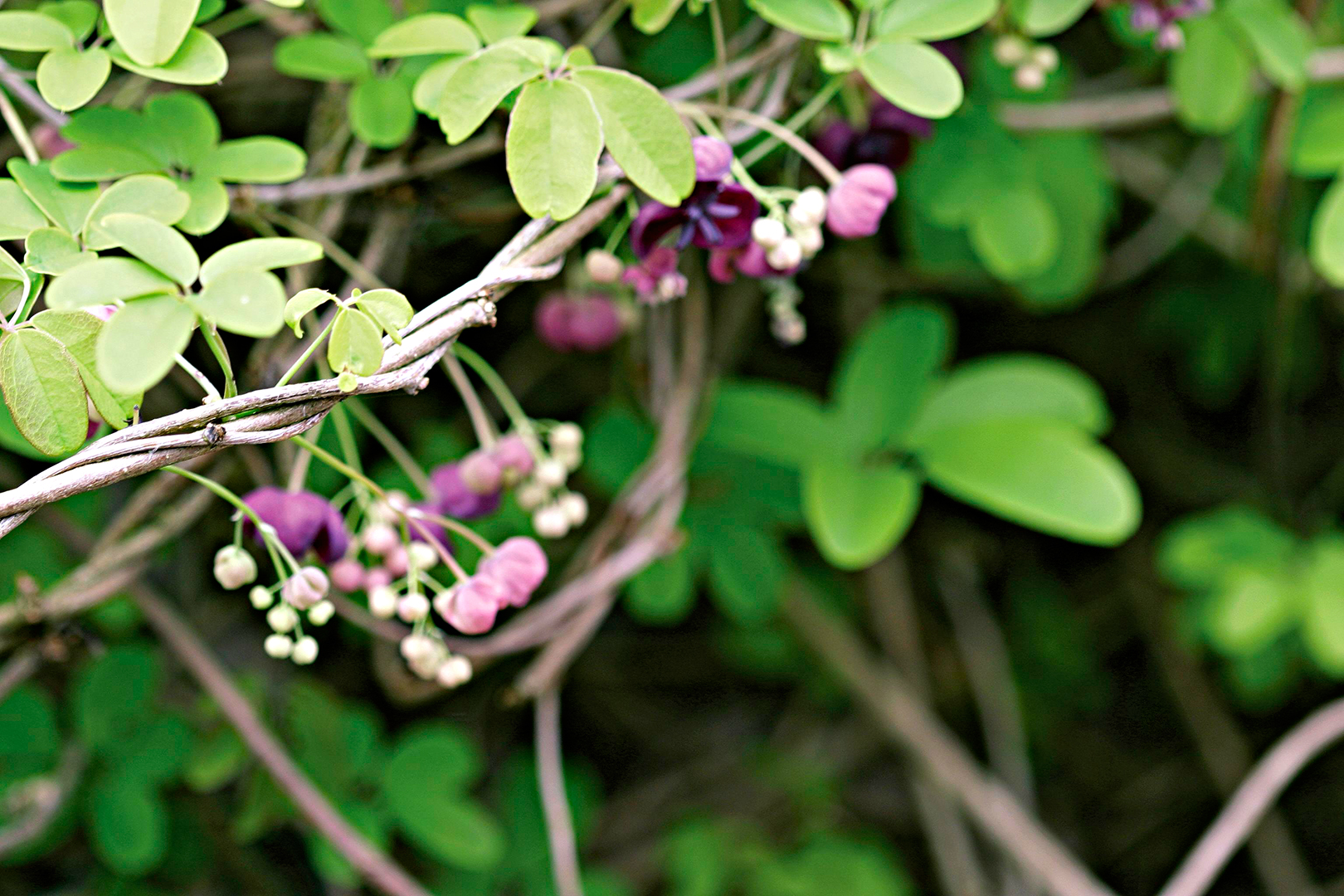 15 Beautiful Perennial Vines That Are Very Low Maintenance