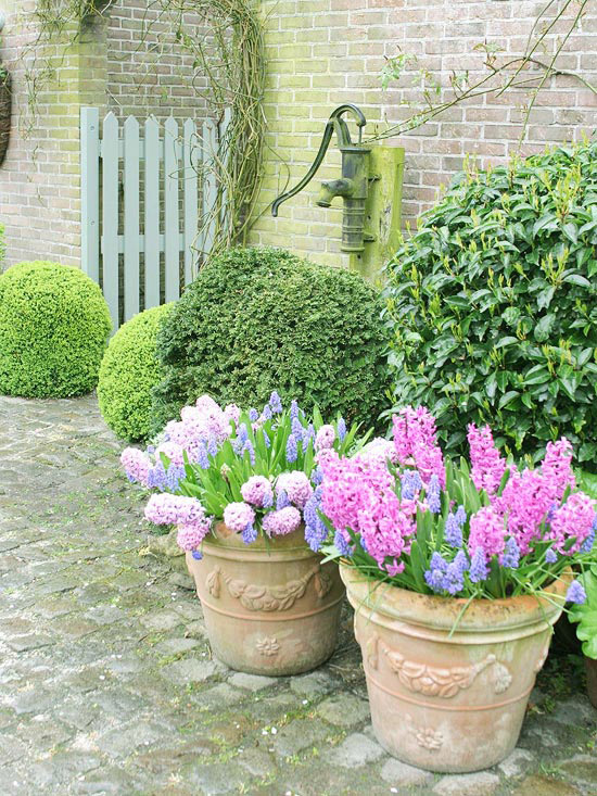 Pink and Purple Hyacinthus
