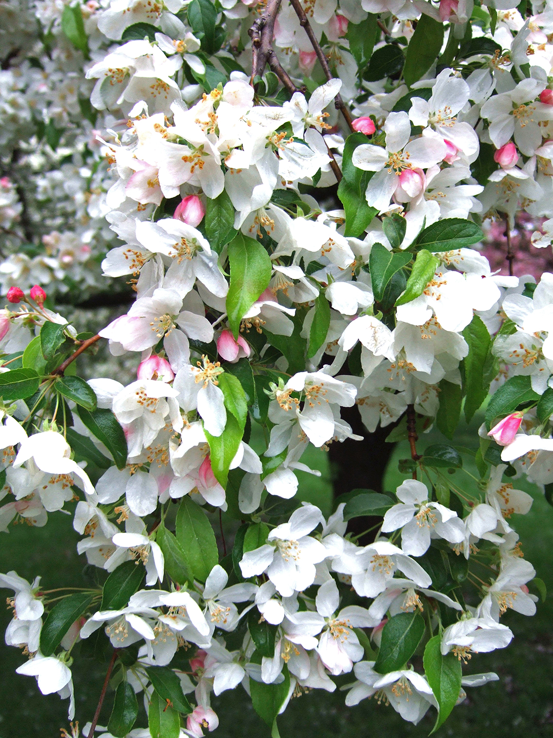 Molten Lava crabapple blooms white and pink