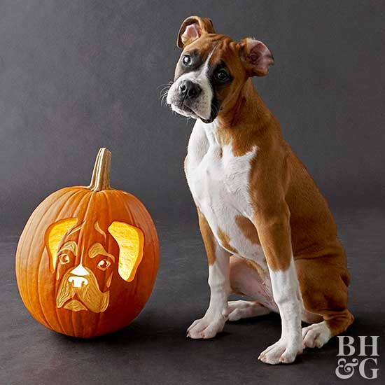 boxer with carved pumpkin