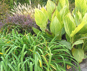 Canna, daylily, and barberry in the Test Garden