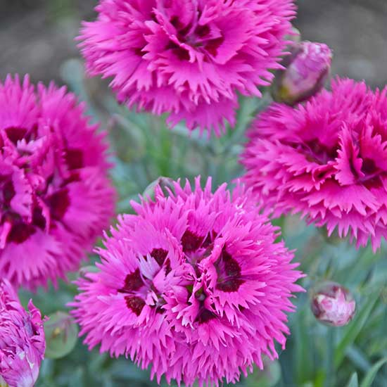 dianthus spiked punch flower
