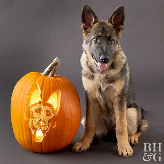 german shepherd with carved pumpkin