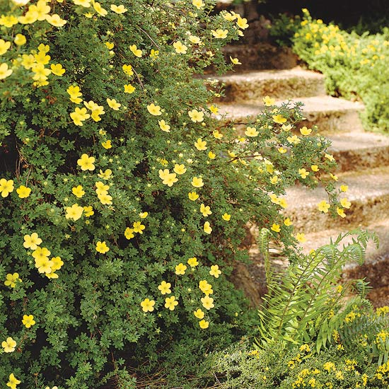 Best Flowering Shrubs For Hedges