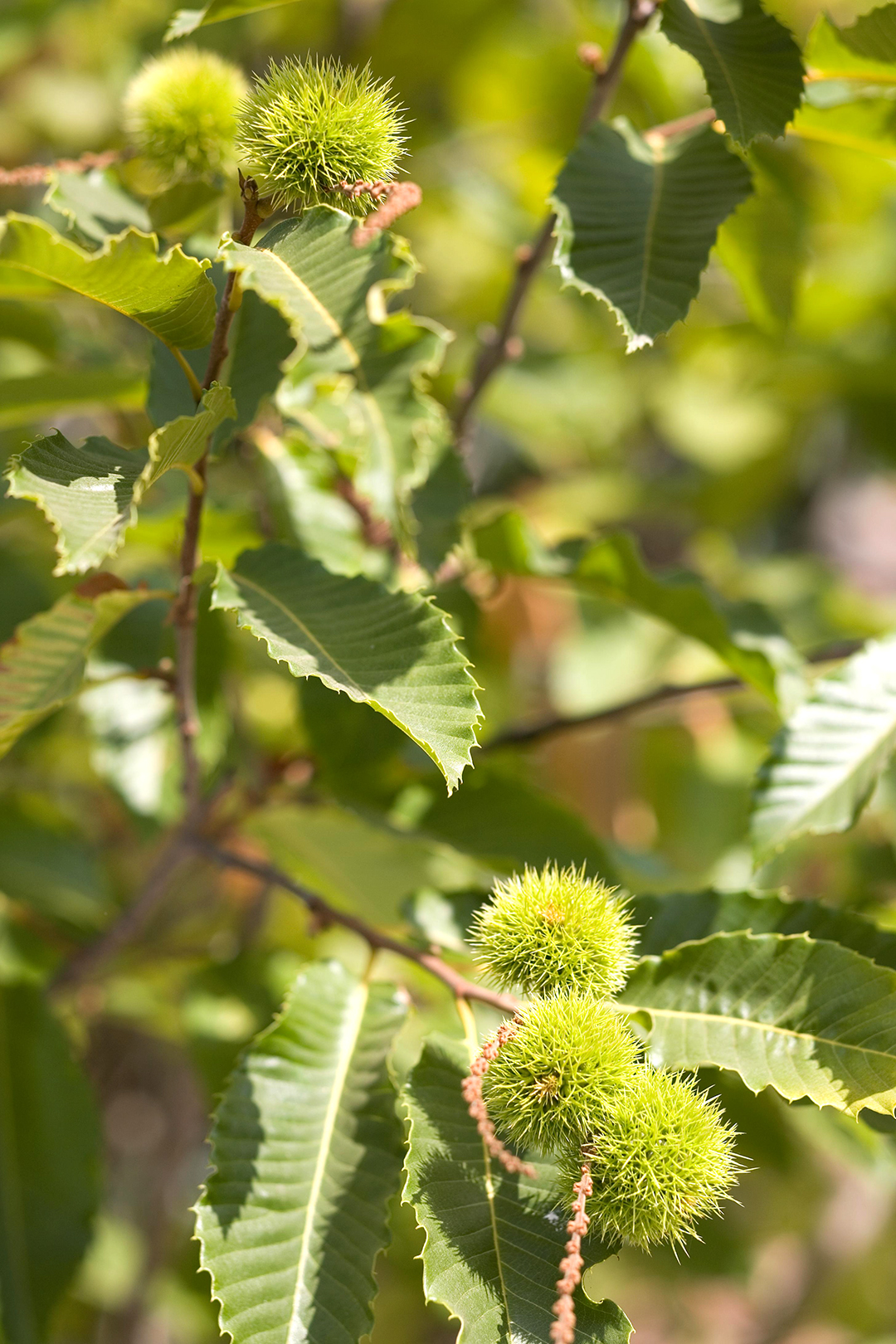 What Kind of Tree Produces Spiked Round Balls, and What Are Their