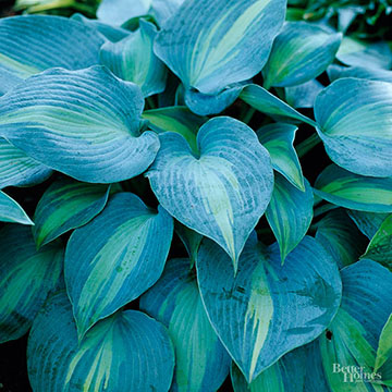 Hosta Better Homes Gardens