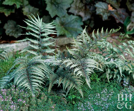 Japanese painted fern, plant, fern