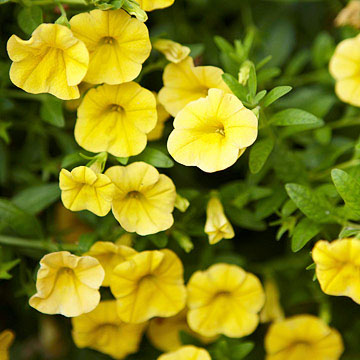 Superbells Yellow Calibrachoa