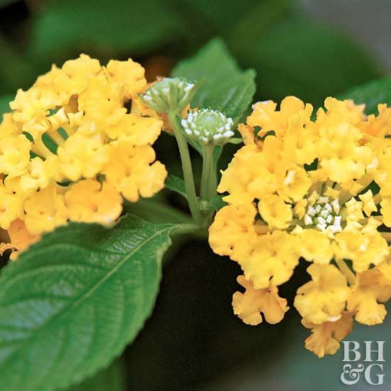 Lantana 'Lucky Pot of Gold'
