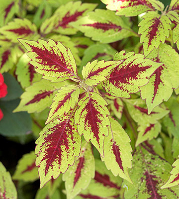 Pineapple Splash coleus