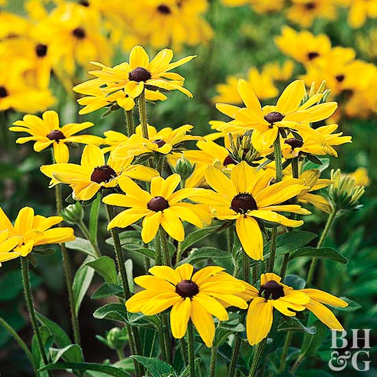 'Indian Summer' black-eyed Susan Rudbeckia hirta