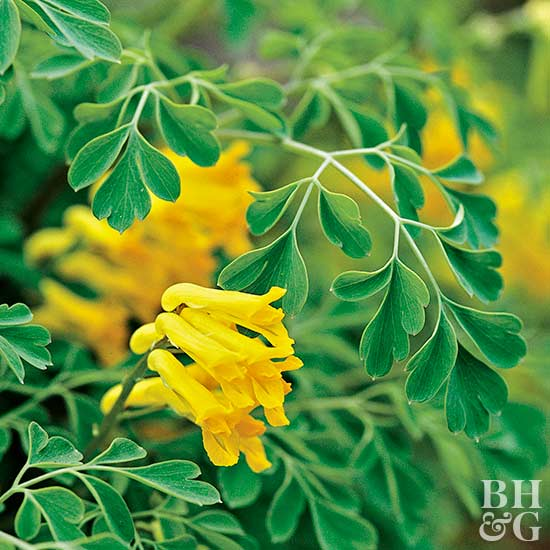 Yellow Corydalis lutea