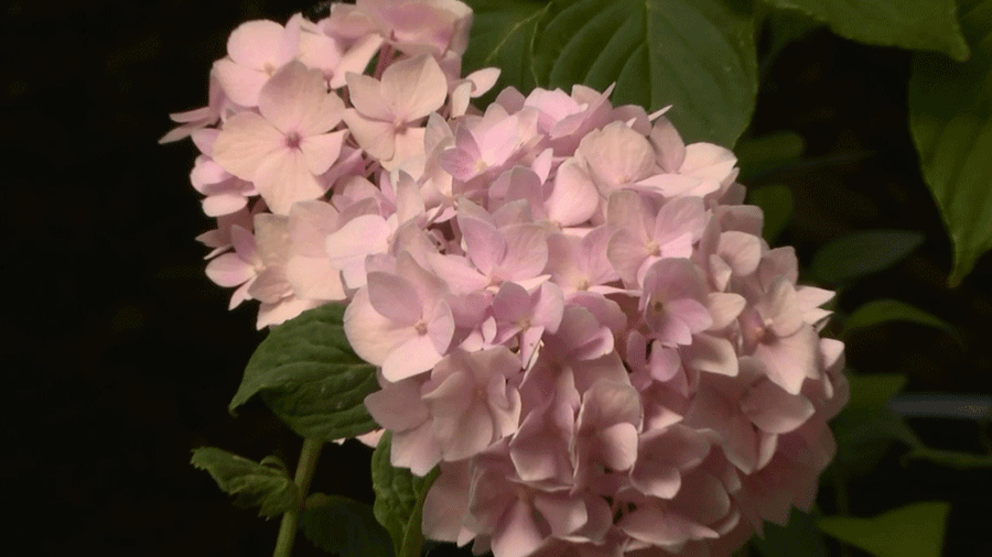 How to Get More Hydrangea Flowers