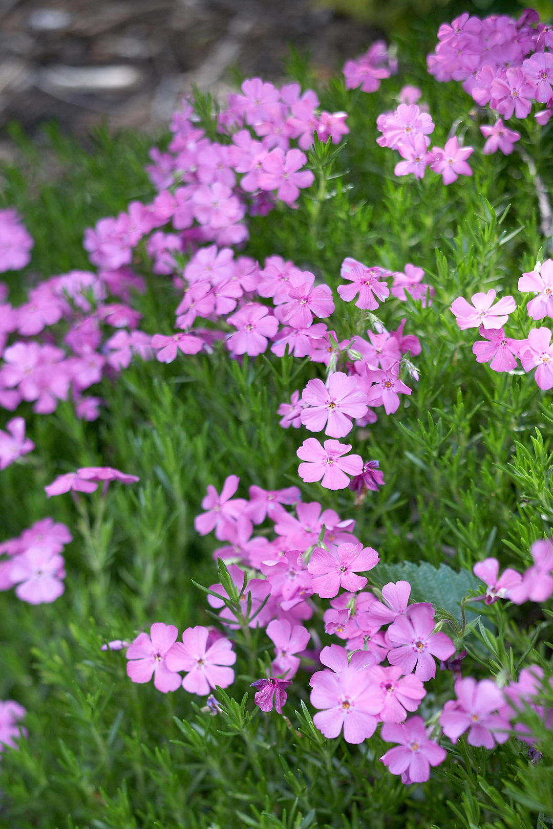 creeping phlox perennial flowers