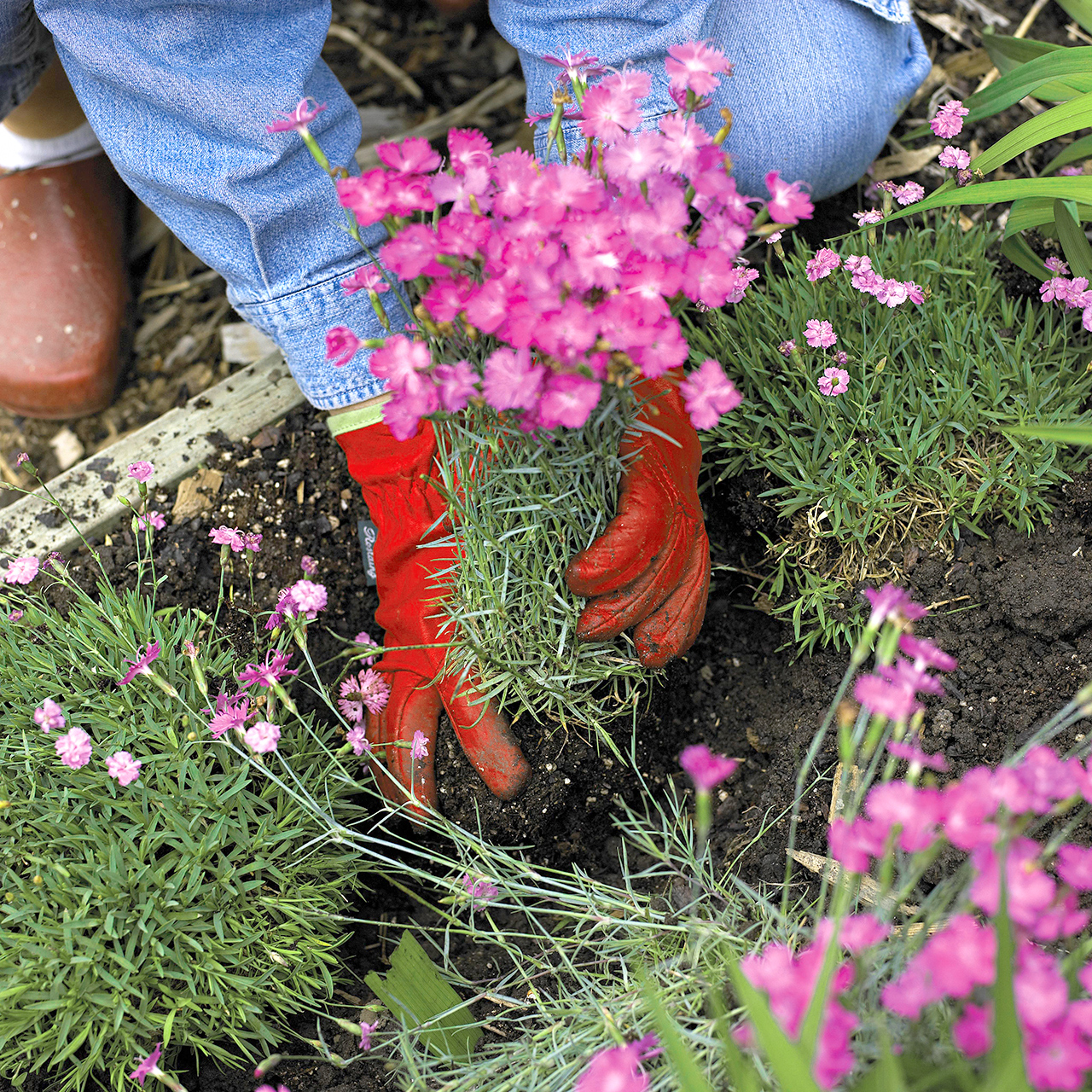 place plant in soil and spread roots