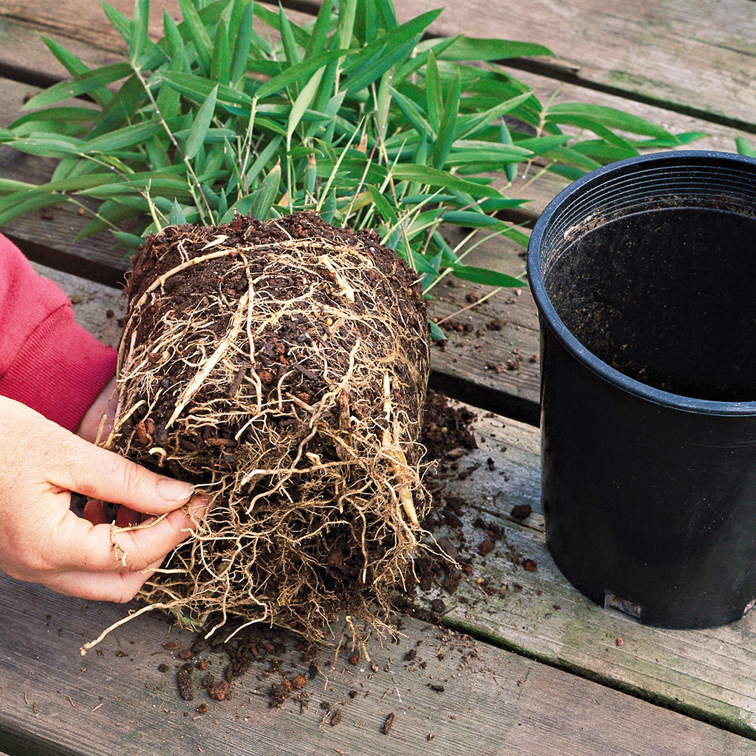 gently pull pot-bound roots with hands to loosen