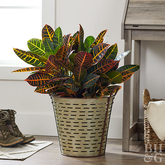 Multi-colored leaves houseplant